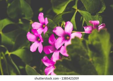 Springtime. Macro shot of a pink crane's bill (Giant herb Robert).
