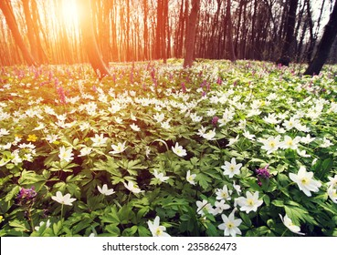 Springtime is the moment for this beautiful flower. Snowdrop anemone. Dramatic scene. Ukraine, Europe. Beauty world. Retro style, vintage filter. Instagram toning effect.