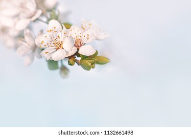 Springtime nature background with copy space. Soft focus image of spring flowers blossom. Spring blooming tree, gentle white flowers. Blossom border on soft focus background