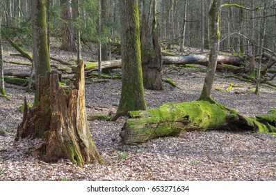 Springtime old deciduous stand with old broken oaks lying partly declined, Bialowieza Forest, Belarus, Europe