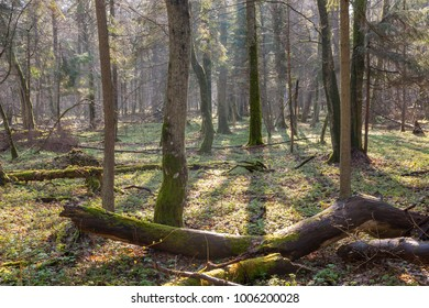Springtime at old natural forest with dead tree trunk lying in foreground, Bialowieza Forest, Poland, Europe