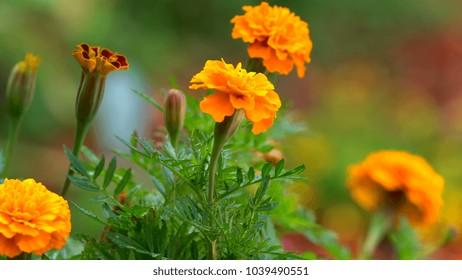 Springtime orange marigold flowers macro closeup in natural garden setting.