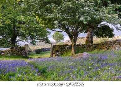 Springtime scene,  a carpet of bluebells taken on Dartmoor National Park.