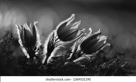 Springtime season. Beautifully spring flowers blossoming pasque flower in the sunset with a natural colored background. (Pulsatilla grandis)
