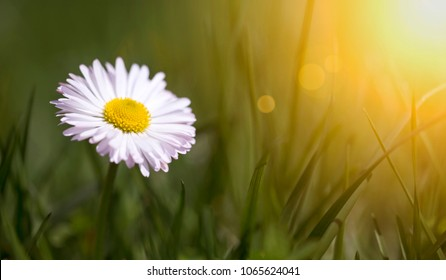 Springtime, spring concept - web banner of a white daisy flower in green grass with blank, copy space