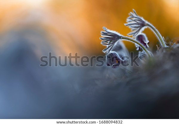 Springtime and spring flower. Beautiful purple small furry pasque-flower. (Pulsatilla pratensis) Blooming on spring meadow at the sunset.