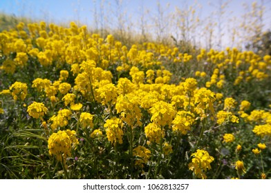 Springtime sunny canola field luoping blooming canola flower. Hill with field of of yellow rapeseed oil plants, canola or colza in bloom under blue sky in the afternoon. Beautiful summer background.