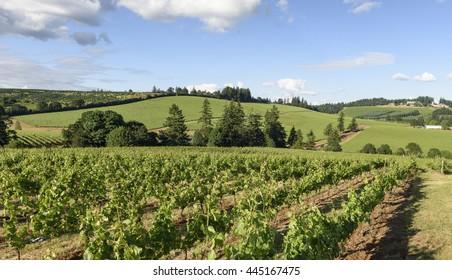 Springtime In the Vineyards of Western Oregon