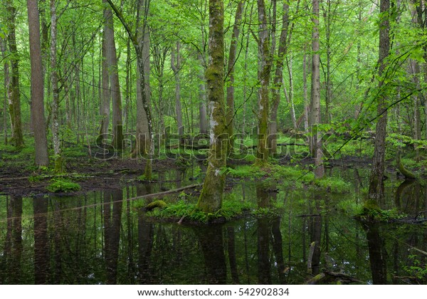 Springtime wet deciduous stand of Bialowieza Forest with standing water,Poland,Europe