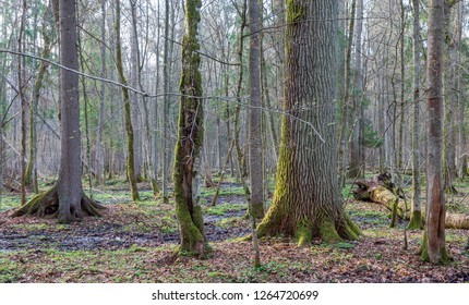 Springtime wet mixed forest with old oak and dead trees partly declined,Bialowieza Forest,Poland,Europe