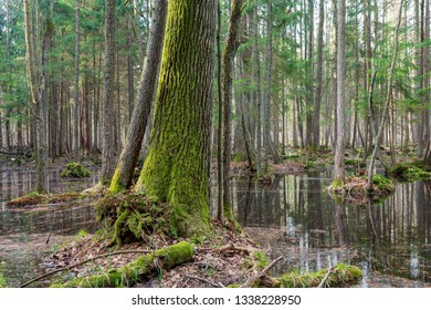 Springtime wet mixed forest with standing water and old oak tree in foreground,Bialowieza Forest, Poland, Europe