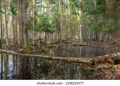 Springtime wet mixed forest with standing water and dead trees partly declined,Bialowieza Forest,Poland,Europe