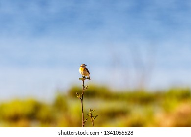 Springtime with a Whinchat bird at a tree top