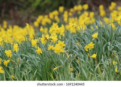 Springtime Yellow Daffodils in a Park in Edinburgh Scotland