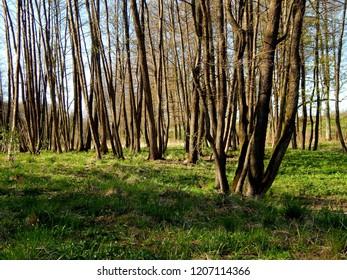 Springtime in young forest, Masuria, Poland