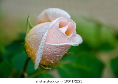 Sprinkled with dew drops, blooms against a green background in summer. Photo