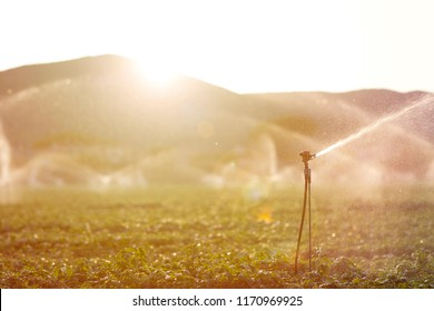 Sprinkler in action during the irrigation of the basil in a summer sunset