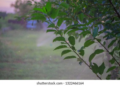 Sprinkler watering the bush and grass in the garden, evening hydration