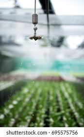 sprinkler watering  in hydroponics farm.