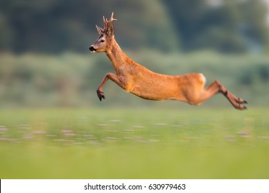 Sprinting roe deer (capreolus capreolus) buck in natural summer meadow with flowers. Dynamic action photo of wild animal running. Roebuck with big antlers jumping. Energetic vital male roe rushing.