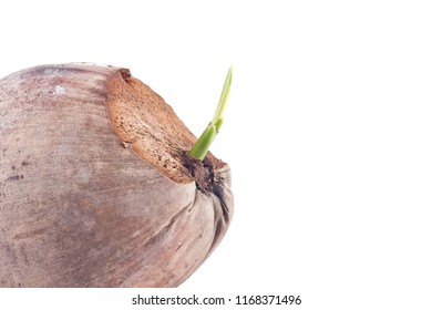 sprout coconut seeding on white background planting agriculture isolated