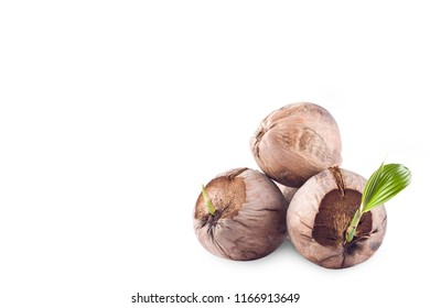 sprout coconut shoot and brown coconut seed on white background planting agriculture isolated close-up