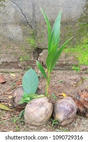 Sprout of coconut tree new growing