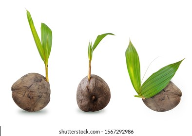 Sprout of coconut trees isolate on white background with clipping path