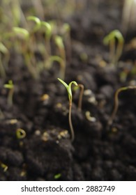 A sprout of dill emerging from the ground