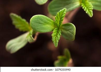 Sprout of hemp cannabis marihuana