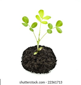 sprout peanuts in soil