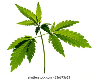 A sprout plant of a hemp isolated on the white background. The texture of the young shoot of a marijuana plant with the first leaves.