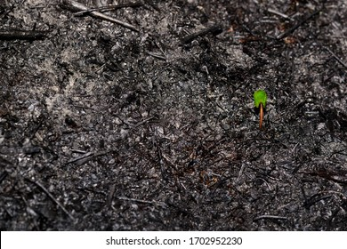 Sprout rises over burnt ground. Grass ash after arson. Recovery after massive crysis. Future resurrection. Copy space on the left.