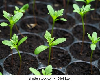 Sprout seeds of marigolds are grown.