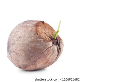 sprout shoot coconut seeding  on white background planting agriculture isolated