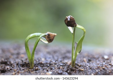 Sprout of the spinach