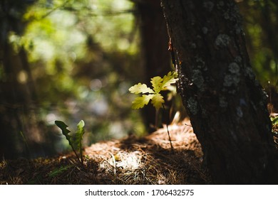 A sprout of a tree in the light of the rays of the sun. Oak (Latin Quércus) is a genus of trees and shrubs of the Beech family (Fagaceae).