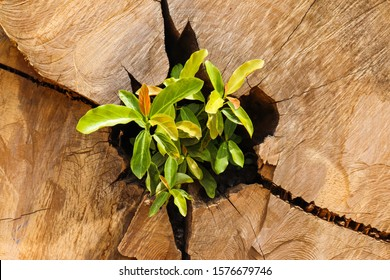 Sprout of a tree sprouting on its trunk after cutting for lumber production.
