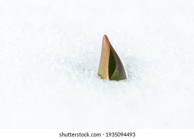 The sprout of a tulip flower, rising up through the snow in the spring.
