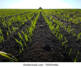 Sprout wheat field, black earth, green grass