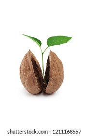 Sprout of a young walnut, isolated on white