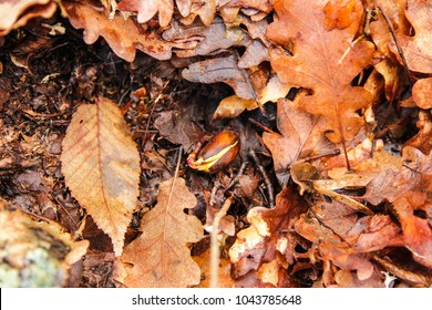 Sprouted acorn in the forest against a background of dry yellow and orange  oak leaves