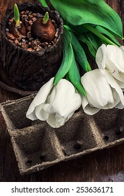 sprouted bulbs on white background fresh cut tulips