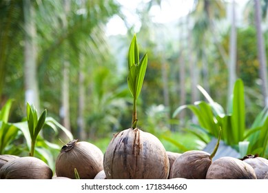 sprouted coconut on a coconut farm