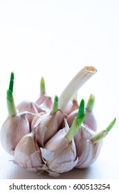 Sprouted garlic. White background. Selective focus. Closeup photo.Copy space.