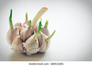 Sprouted garlic. White background. Selective focus. Closeup photo.Copy space. Toned photo.