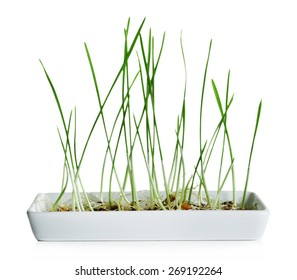 Sprouted grains in flowerpot isolated on white