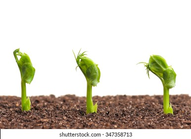 Sprouted peas in organic soil over white background