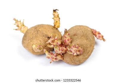 Sprouted potatoes isolated on white