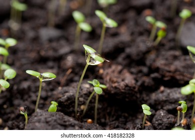 Sprouted seeds of the plant with water droplets on the slips